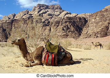 Two camels, bush and mount in Wadi Rum, Jordan...