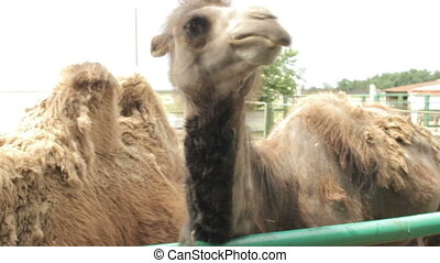 Two camels in the zoo. Asking for food from spectators