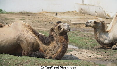 two camels lie on the lawn - two large camels lie on the...