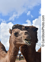 Two Camels with Their Necks Together Cuddling - A pair of ...