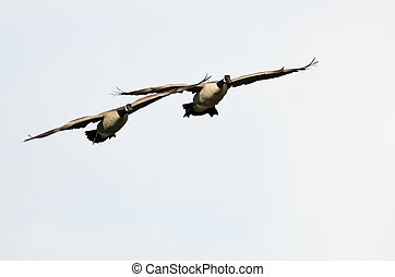 Two Canada Geese Flying on a White Background
