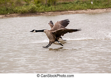 Two Canada Geese Landing on a Pond