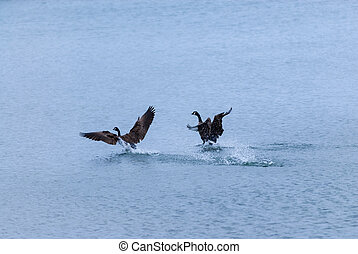 Two Canada geese landing on water
