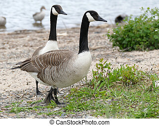 Two canadian geese on the river bank