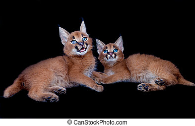 Two caracal babies - Two caracal kittens isolated