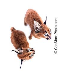 Two caracal kittens - Caracal kittens on white studio...