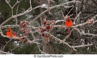 Two Cardinals perched on a branch