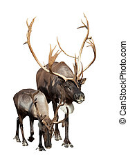 Two caribou over white background - Two caribou. Isolated...