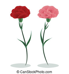 Two carnations - Red and pink carnations on a white...