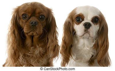 two cavalier king charles spaniel - ruby and blenheim...