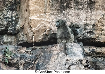 Two chacma baboons (Papio ursinus) sit on a colorful desert rock