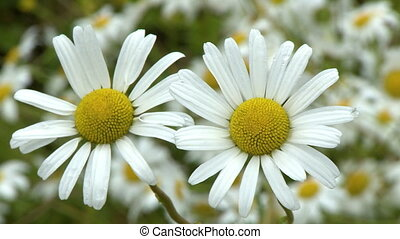 Two Chamomile Flowers