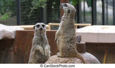 Marvelous view of two grey and brown woodchucks standing together and looking in different sides in an open zoo on a sunny day in summer. They look cheerily and fine.
