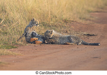 Two Cheetah cubs playing early morning in a road