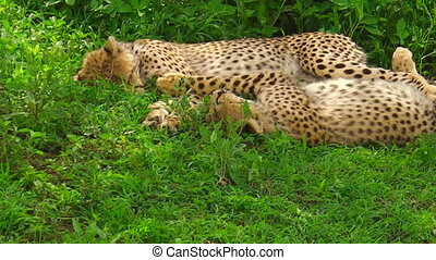 Two cheetah cubs with their mother in Ngorongoro...