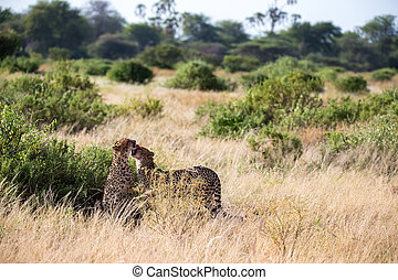 Two cheetahs brush each other after the meal