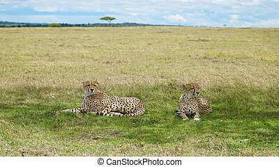 Two Cheetahs Lay and Relax in the Shade