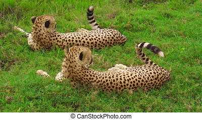 Two cheetahs of Ndutu - Two cheetahs in Ndutu Area of...