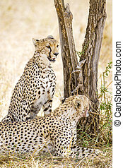 Two cheetahs rests after meal in Serengeti - African cheetah...