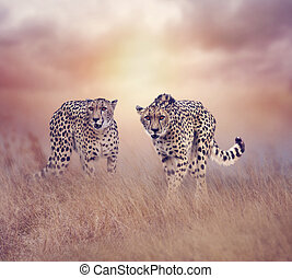 Two Cheetahs walking in the grassland