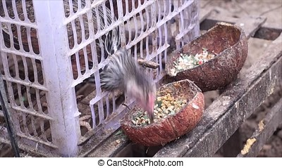 Two chicken kept in plastic case cage - Two chicken kept and...