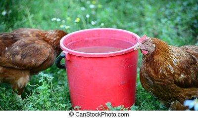 Two chicken near bucket of water in the yard