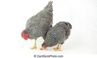 Two chickens eating corn on white background