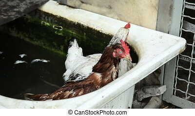 two chickens in water