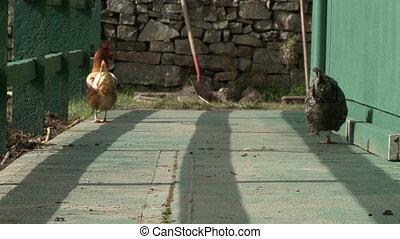 Steady, medium wide shot of two chickens walking on concrete near a green fence.