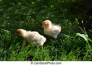Two chicklings are feeding in the garden