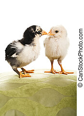 Two chicks.