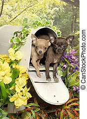 Two Chihuahua Puppies in a Mailbox