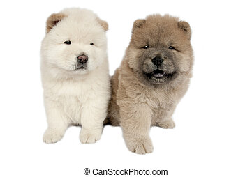 Two Chow-chow puppies . - Two Chow-chow puppies in front of...