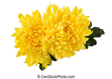 two chrysanthemums with white background