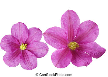 Two Clematis Flowers