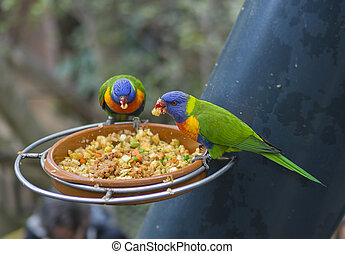 two close up exotic colorful red blue green parrot Agapornis lorikeet eating feeding from bowl of grain