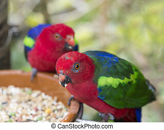 two close up exotic colorful red blue green parrot Agapornis parakeet eating feeding from bowl of grain, selective focuse on eye