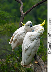 Two Cockatoo clean each other in New South Wales Australia