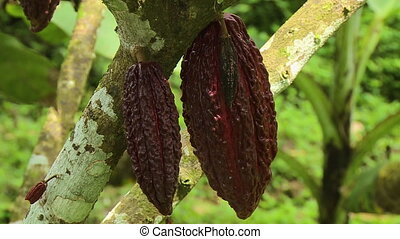 Two Cocoa Pods Hanging From Branch - Steady, close up of two...