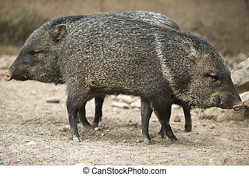 Two Collared peccary - A collared peccary or javelina that...