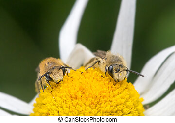 Two Colletes daviesanus plasterer bees