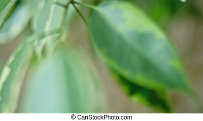 Two-color leaves of Ficus Religiosa shallow depth of field...