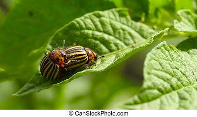 Two Colorado Striped Beetles - Leptinotarsa Decemlineata.