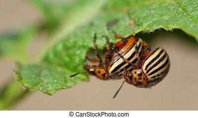 Two Colorado Striped Beetles - Leptinotarsa Decemlineata....