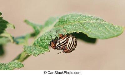 Colorado Striped Beetles - Leptinotarsa Decemlineata. This...