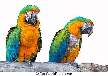 Two colorful parrots birds