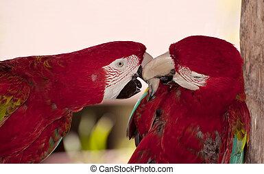 Two colorful parrots.