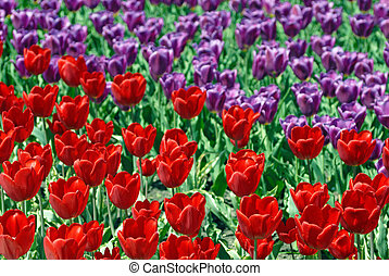 Two-coloured field of tulips