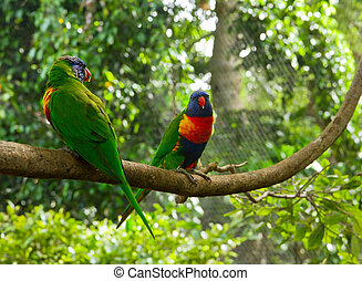 Two colourful lori parrots on the perch