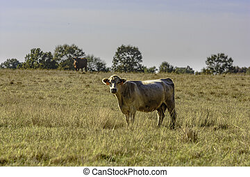 Two Commercial beef cows in a pasture
